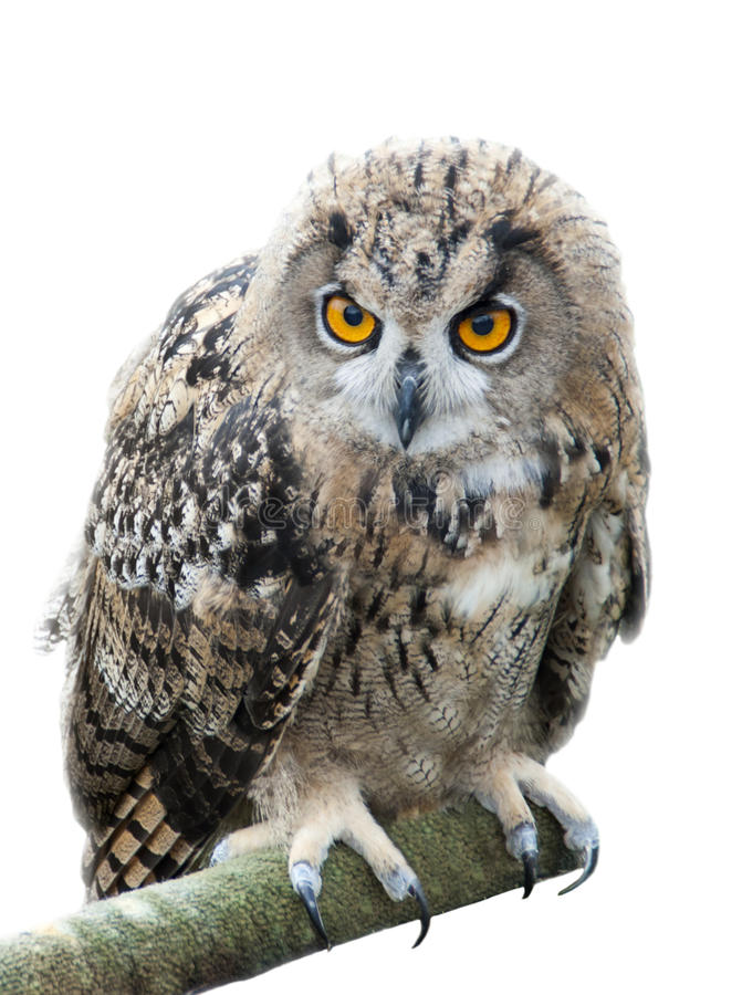 Download Eagle owl bird stock image. Image of orange, stalking - 38115189