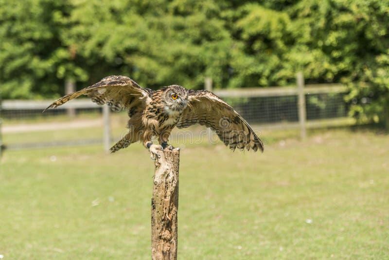 Download Eagle Owl (bubo bubo) stock image. Image of animal, predator - 32646105