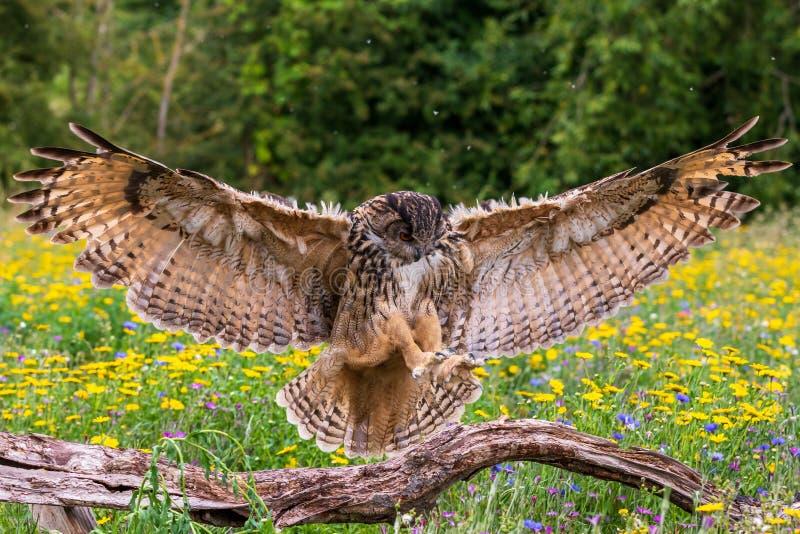 Eagle owl Bubo bubo fotografie stock