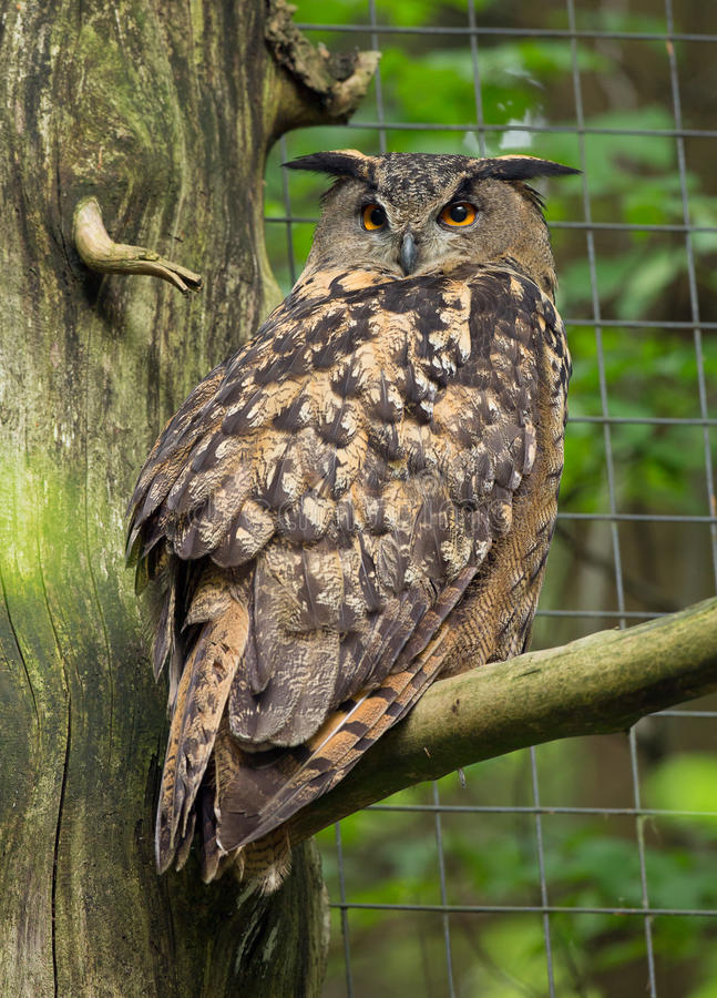 Download Eagle owl stock photo. Image of staring, branch, raptor - 32663730