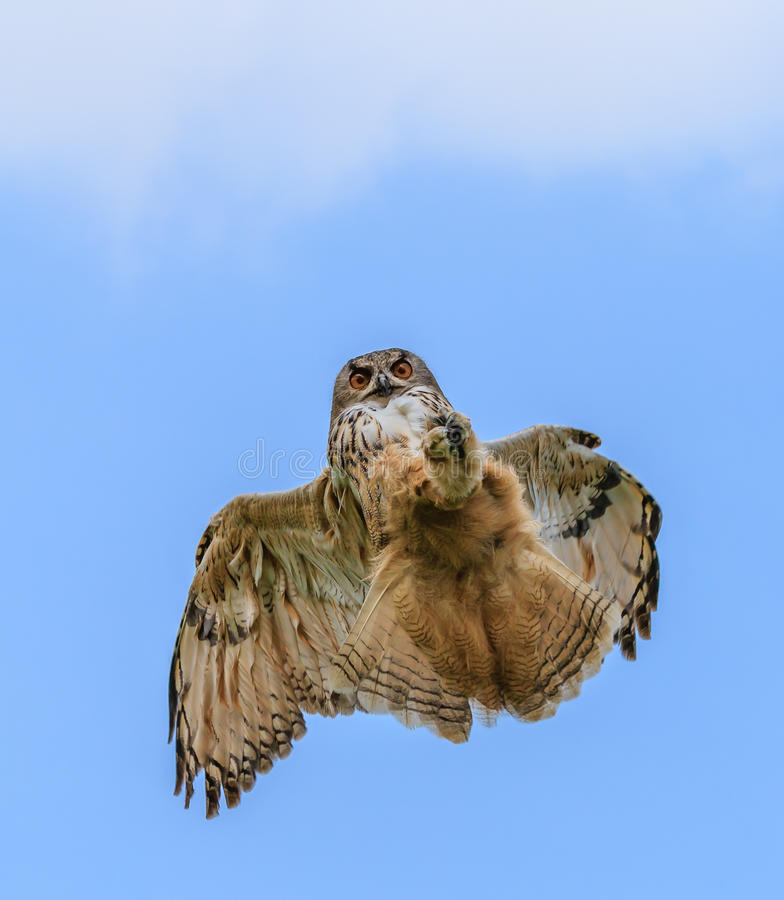 Eagle Owl chassant en vol images libres de droits