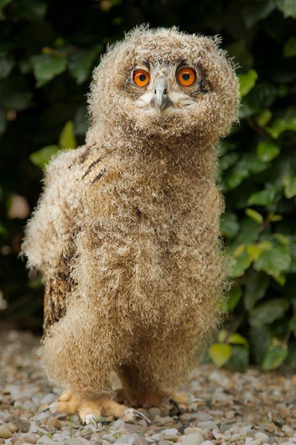 Eagle Owl Chick Stock Photo