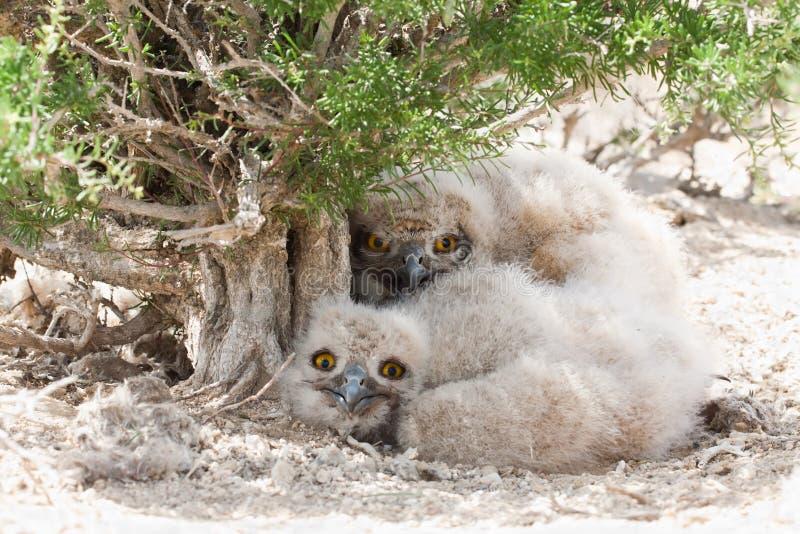 Eagle owl chicks Bubo bubo stock images