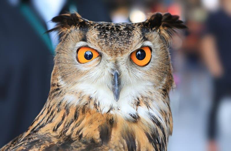Eagle-Owl Close euro-asiático acima de curto imagem de stock