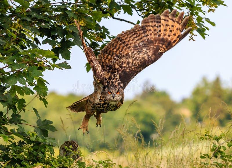 Eagle Owl die laag vliegen stock fotografie