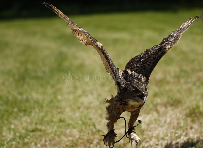 Eagle Owl en vol image stock