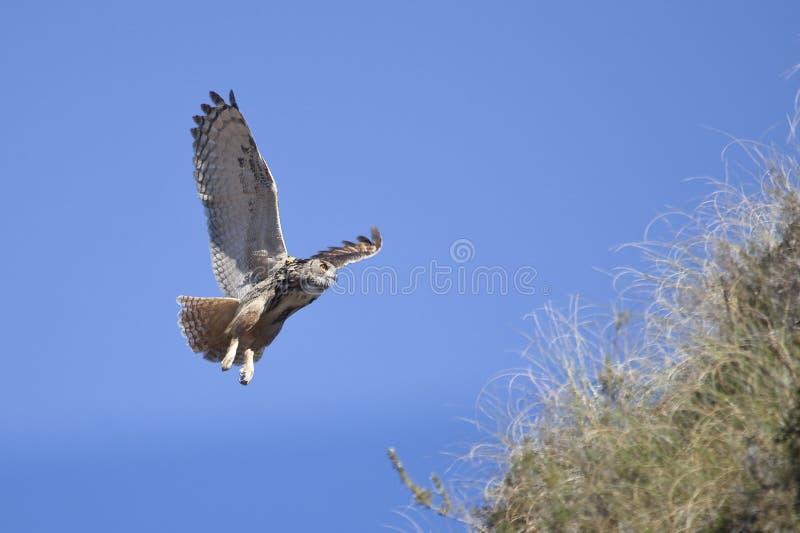 Eagle Owl en vol photo libre de droits