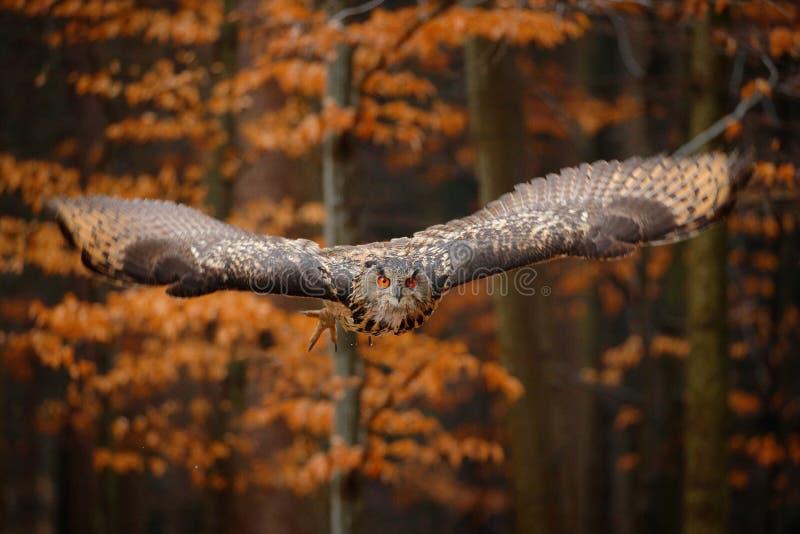 Eagle Owl euro-asi?tico, bub?o do bub?o, com asas abertas em voo, habitat da floresta no fundo, ?rvores alaranjadas do outono Cen fotografia de stock