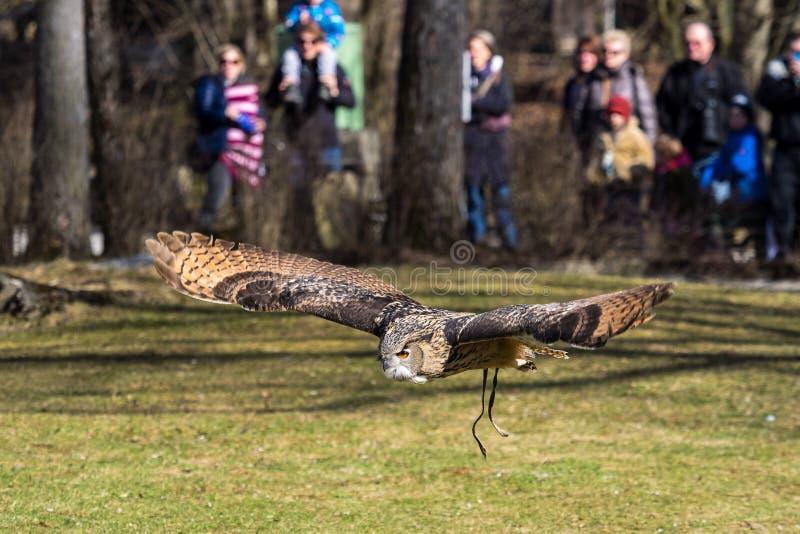 Eagle Owl euroasiatico, bubo del Bubo in un parco naturale tedesco fotografie stock