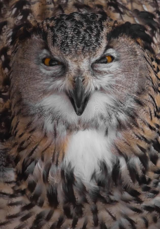 The eagle owl of evil is huge and looks at you snapping his beak. Owl with clear eyes and an angry look  is a large predatory owl royalty free stock image