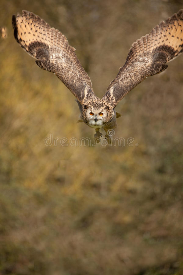 Download Eagle Owl in Flight 2 stock image. Image of brown, nature - 16072723