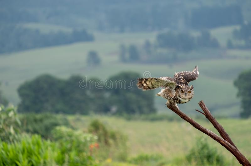Eagle owl in flight, about to land on a tree, photographed in the Drakensberg mountains, South Africa. Eagle owl in flight, about to land on a tree, photographed stock images