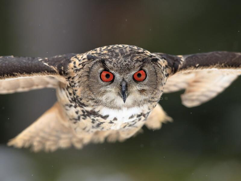 222 Eagle Owl Red Eyes Photos - Free & Royalty-Free Stock Photos from  Dreamstime