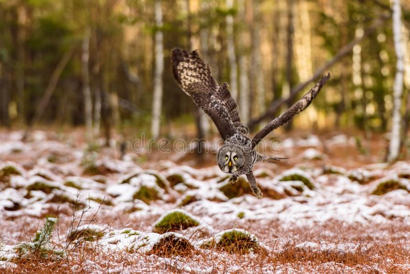 Eagle owl flying in the forest. Huge owl with open wings in habitat with trees. Beautiful bird with orange eyes. royalty free stock photos