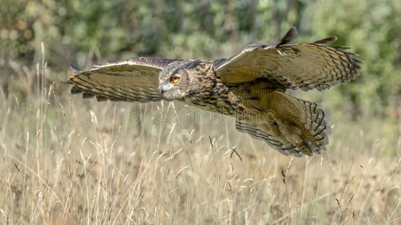 Eagle owl flying low above the grass stock photography