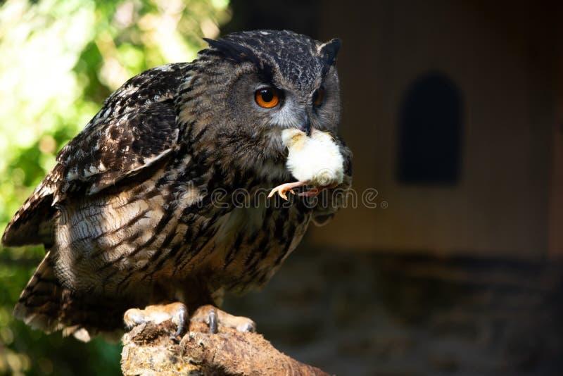Big eagle owl royalty free stock photo