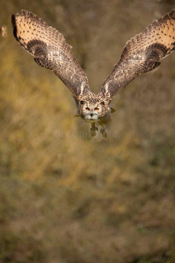 Free Eagle Owl In Flight 2 Stock Photos - 16072723