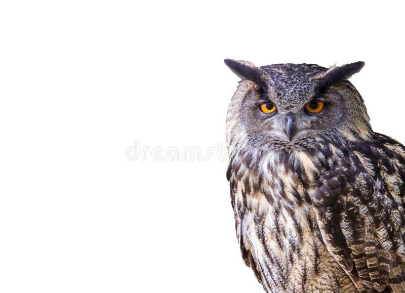 Eagle owl isolated stock photography