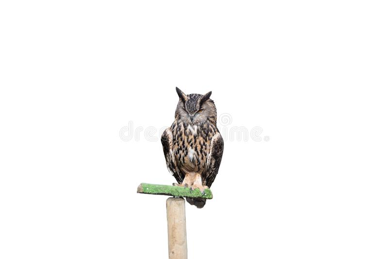 Eagle owl isolated on a white background stock photography