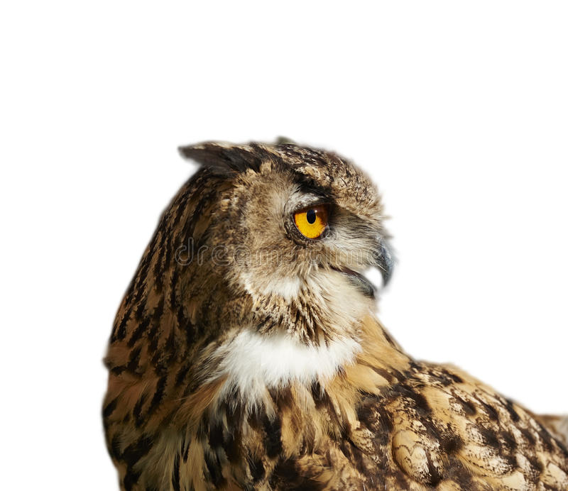 Eagle owl isolated on white looking right stock photo