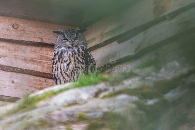 Eagle owl kew long eared bird royalty free stock images