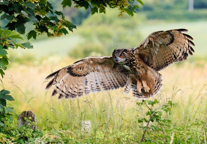 Eagle Owl Landing royalty-vrije stock foto