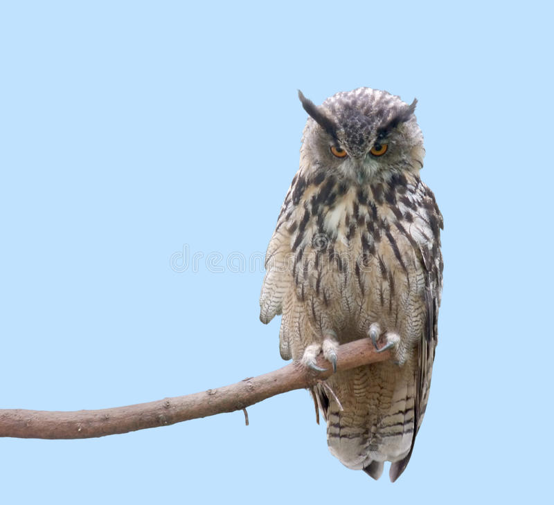 Eagle Owl. Low angle shot of a eagle owl sitting on a bough in front of light blue back stock photography