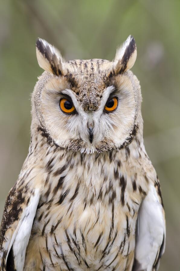 Eagle owl, nachtvogel van prooi stock foto