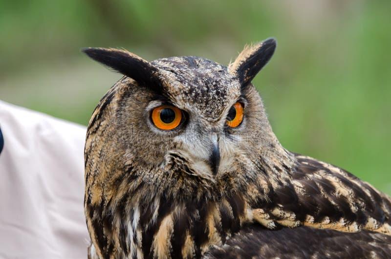 Eagle owl, nachtvogel van prooi stock fotografie