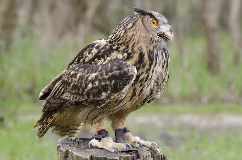 Eagle owl, nachtvogel van prooi stock afbeeldingen