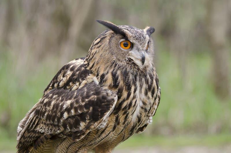 Eagle owl, nachtvogel van prooi royalty-vrije stock foto's