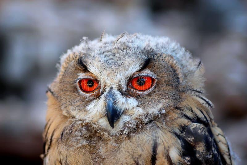 Eagle owl orange eye big bird wild forest royalty free stock image