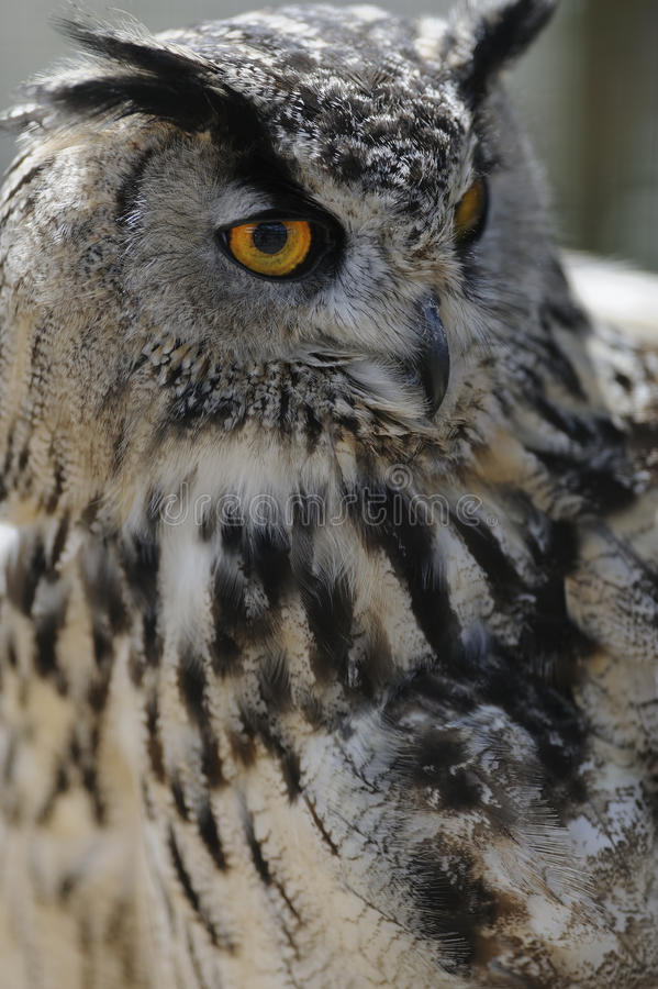 Download Eagle owl portrait stock photo. Image of stare, silent - 16984208