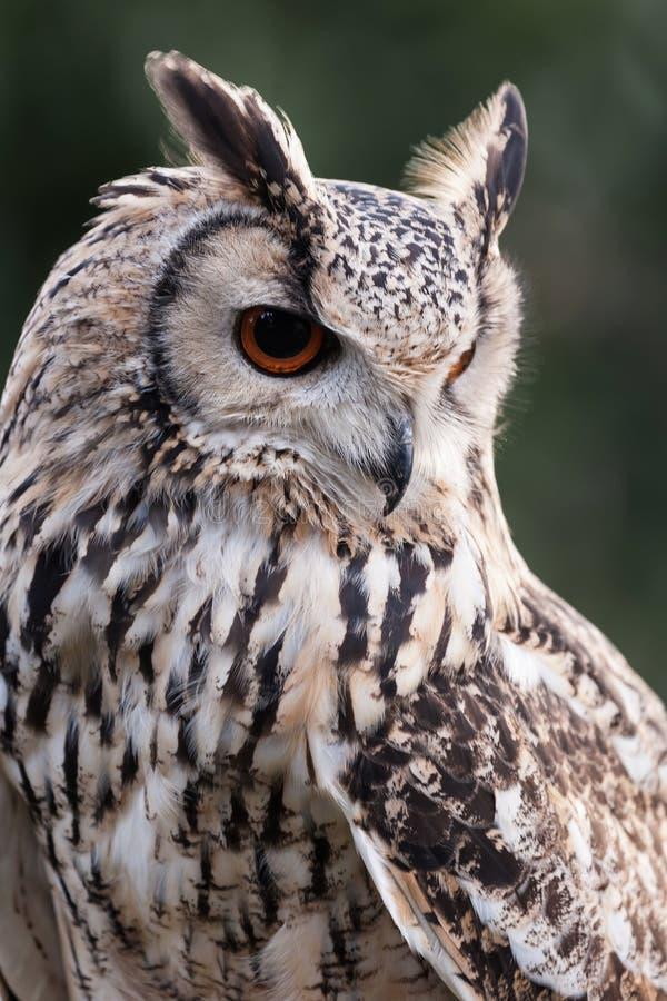 Eagle Owl Portrait imagens de stock royalty free