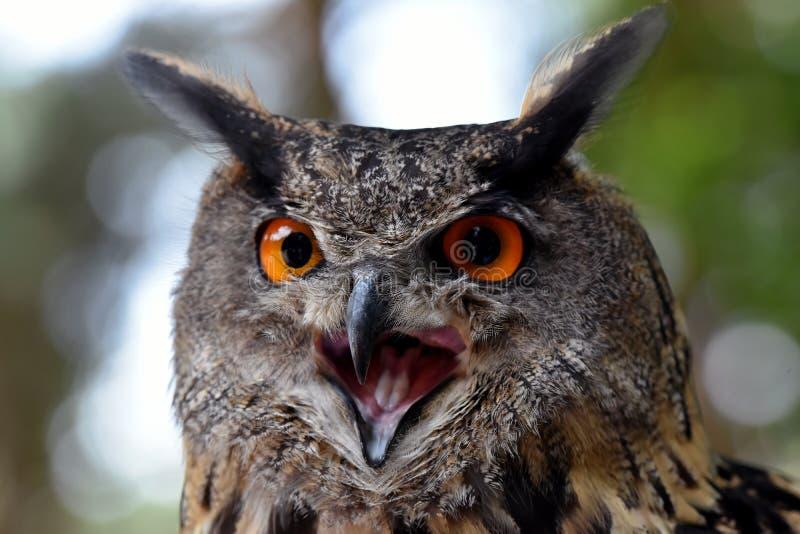 Download Eagle owl stock photo. Image of bird, birds, colors, kill - 97220536
