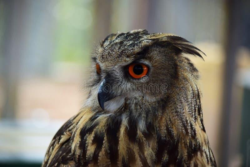 Eagle Owl 3/4 Portret stock fotografie