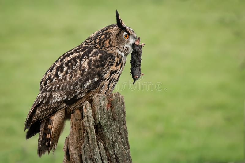 Eagle owl with prey royalty free stock images