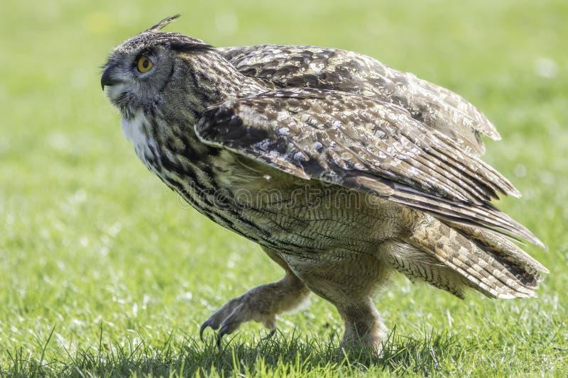 Eagle Owl-Raubvogel gehend aus den Grund stockbild