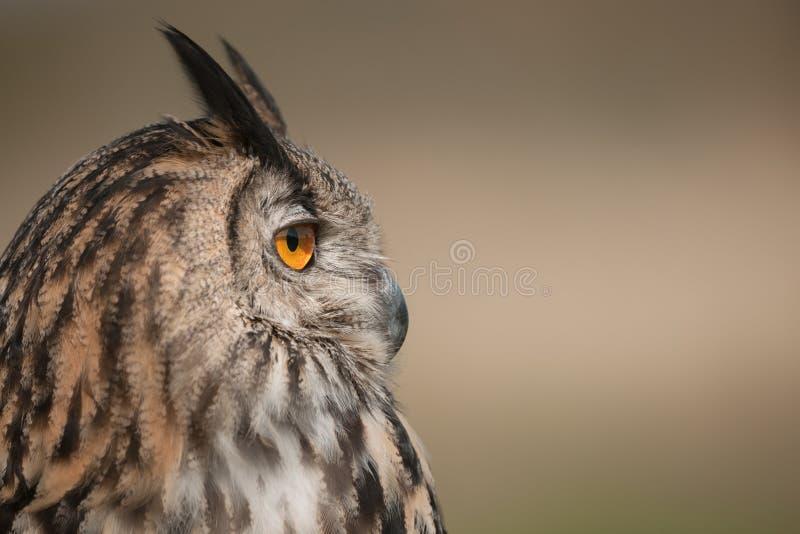 Download Eagle Owl stock photo. Image of eagle, feather, large - 31288042