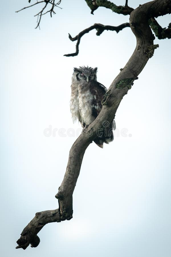 Eagle owl sleeps on dead tree branch royalty free stock images