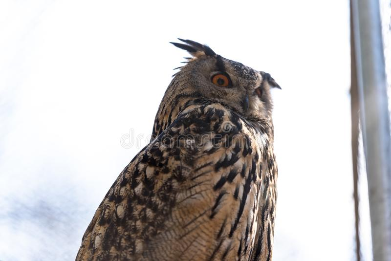 A eagle owl royalty free stock image