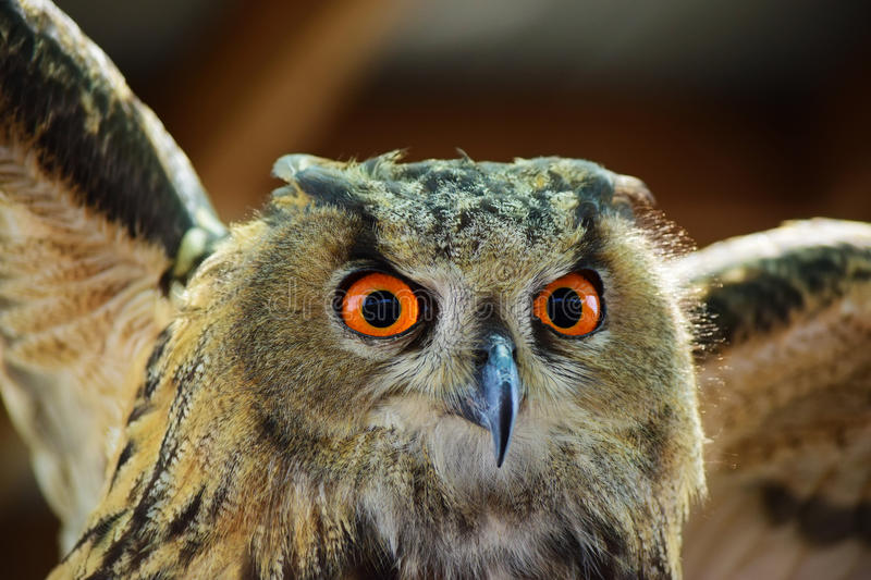 Eagle Owl With Wings Spread. Closeup portrait of a Eurasian Eagle Owl, detailing the large vibrant orange eyes, intense gaze, and spread wings stock images
