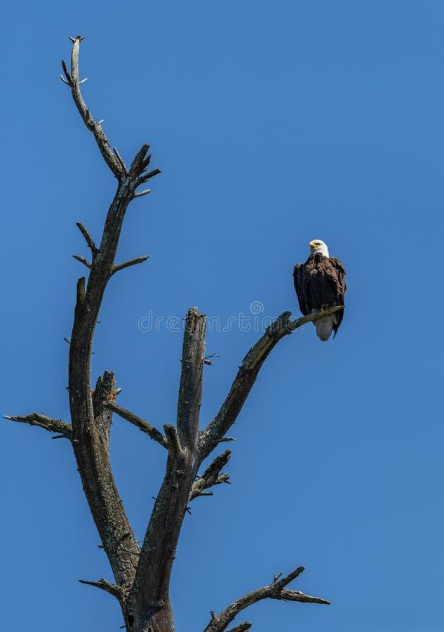 Eagle på dött träd royaltyfria bilder