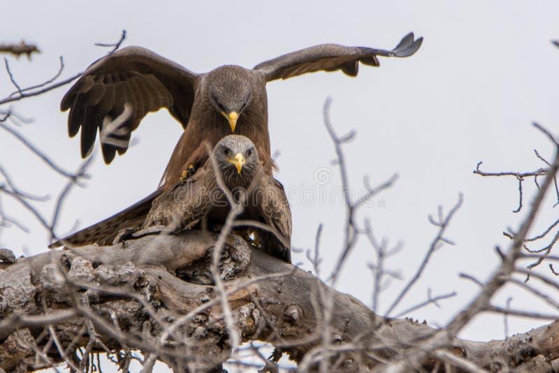Eagle-paar het koppelen stock afbeeldingen