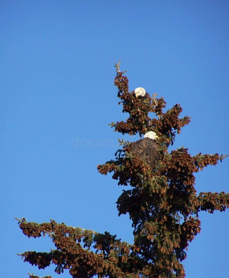 Eagle Pair en extremidad Spruce fotografía de archivo
