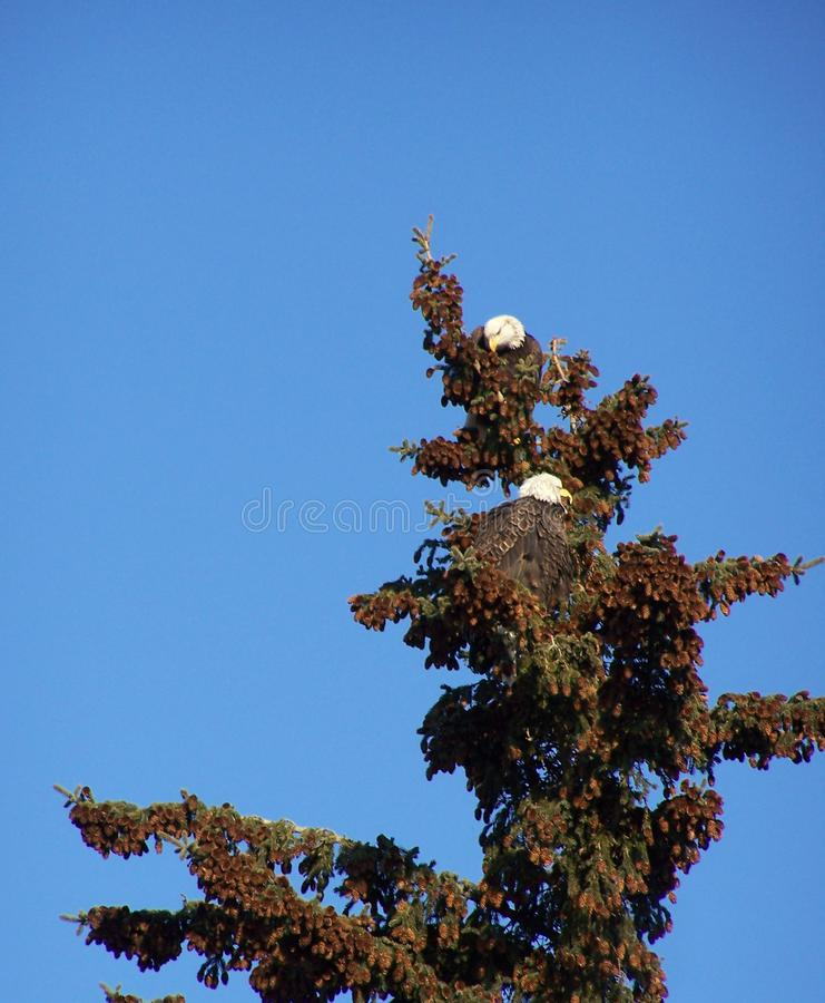 Eagle Pair in Spruce Tip stock photography