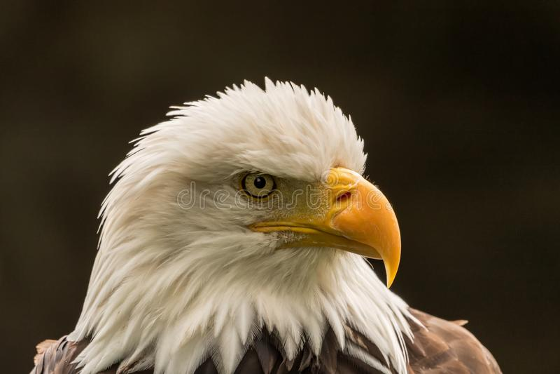 Eagle para o presidente fotografia de stock