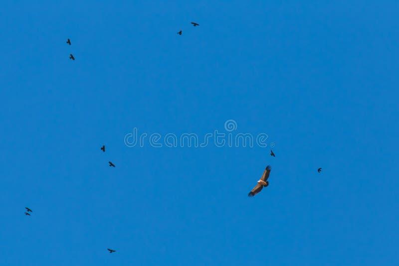 Eagle pary w niebieskim niebie zdjęcia stock