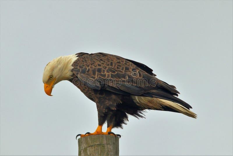 Eagle Perched calvo americano en la viruta fotografía de archivo