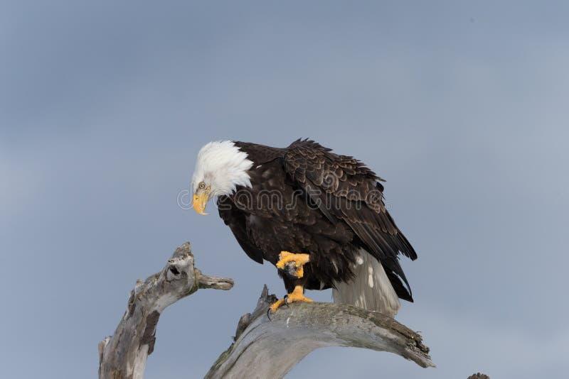 Eagle Perched calvo norte-americano na madeira da tração fotografia de stock royalty free